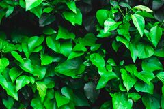 Fresh green ivy leaves as background or texture - garden or park wall with Hedera Helix plant, city jungle concept