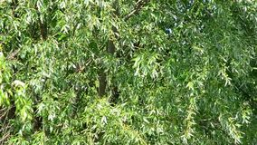 Fresh green juicy willow foliage blown by wind in spring stock video footage