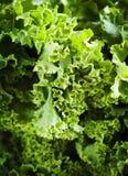 Fresh Green Kale Royalty Free Stock Image
