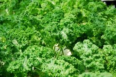 Fresh green kale Royalty Free Stock Photos