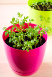 Fresh green kitchen herbs in colorful pots Stock Image