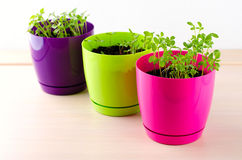 Fresh green kitchen herbs in colorful pots Stock Photo