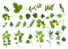 Fresh Green Laves Natural Set Isolated Royalty Free Stock Photos
