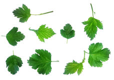 Fresh Green Laves Natural Set Isolated Stock Photos