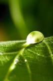 Fresh green leaf Royalty Free Stock Photography