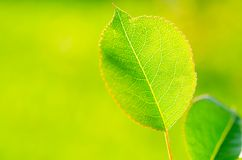 Fresh green leaf Royalty Free Stock Image