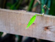 A Fresh Green Leaf against Wooden Background - Natural Environment Botany Background Stock Image