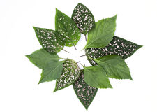 Fresh green leaf arrangement for banner background isolate on white background Royalty Free Stock Image