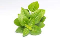 Fresh green leaf basil. Isolated on white background stock image