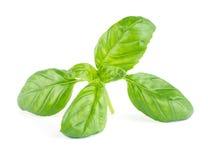 Fresh green leaf basil Royalty Free Stock Photo
