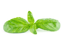 Fresh green leaf basil. Isolated on white background Royalty Free Stock Images