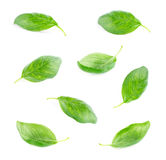 Fresh green leaf basil Isolated on white Stock Image