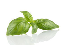 Fresh green leaf basil Stock Photo