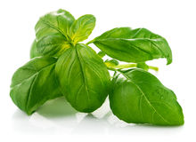 Fresh green leaf basil Stock Photography