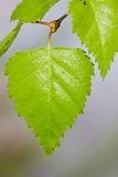 Fresh green leaf of birch Stock Image