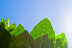 Fresh green leaf and blue sky Stock Photography