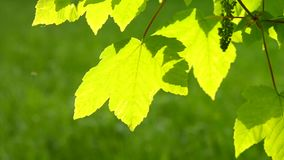 Fresh green leaf on a branch of a tree with the sun backlighting stock footage