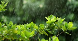 Nature fresh green leaf branch under havy rain in rainy season. Fresh green leaf branch under havy rain in rainy season Royalty Free Stock Image