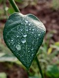 Fresh green leaf with bubbling dew drops close view. Close up view of fresh green leaf with crystal bubbling dew drops at autumn morning stock photo