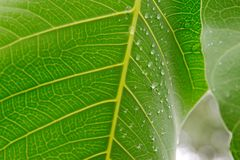 A fresh green leaf with water bubbles in close up with detailed vein structure royalty free stock image