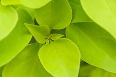 Fresh green leaf close up. Fresh green leaf core close up Royalty Free Stock Photo