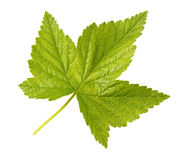 Fresh green leaf of currant, the isolate. Royalty Free Stock Photography