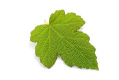 Fresh green leaf with detail vein Stock Image