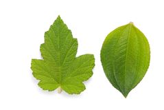Fresh green leaf with detail vein Stock Images