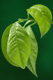 Fresh green leaf on green background royalty free stock photography