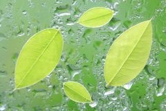 Fresh green leaf on green rain. Background Royalty Free Stock Image