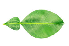 Fresh green leaf isolate Royalty Free Stock Photos
