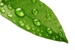 Fresh Green Leaf Isolated Royalty Free Stock Photos