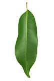 Fresh Green Leaf isolated on white Royalty Free Stock Images