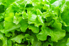 Fresh green leaf lettuce Stock Photos