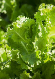 Fresh green leaf lettuce Stock Photo