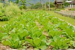 Fresh green leaf lettuce plants growing in garden.  Stock Photo