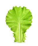 Fresh green leaf lettuce Stock Image