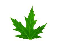 Fresh green leaf of mapple isolated Royalty Free Stock Photography