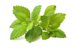 Fresh green leaf of melissa. Lemon balm Royalty Free Stock Photo