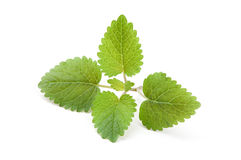 Fresh green leaf of melissa. On white background stock photos