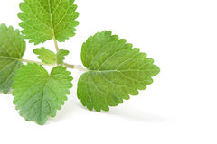 Fresh green leaf of melissa. On white background Royalty Free Stock Photography