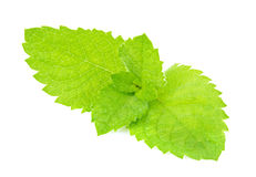 Fresh green leaf of mint macro Stock Images