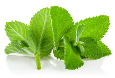 Fresh green leaf mint Stock Images