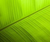 Fresh green leaf nature background. S Royalty Free Stock Photo