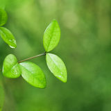 Fresh green leaf nature background. Fresh green leaf backgrounds. Shallow depth of field Stock Photo