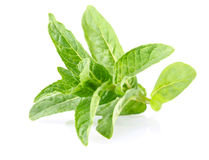 Fresh green leaf of  peppermint Stock Photos