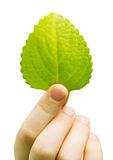 Fresh green leaf of a plant Royalty Free Stock Photography