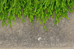 Fresh green leaf plant on grunge wall background. Royalty Free Stock Photos