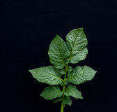 Fresh Green Leaf   Of Potato Plant broken by Phytophthora Infestan Royalty Free Stock Images