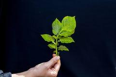 Fresh Green Leaf Of Potato Plant Stock Image